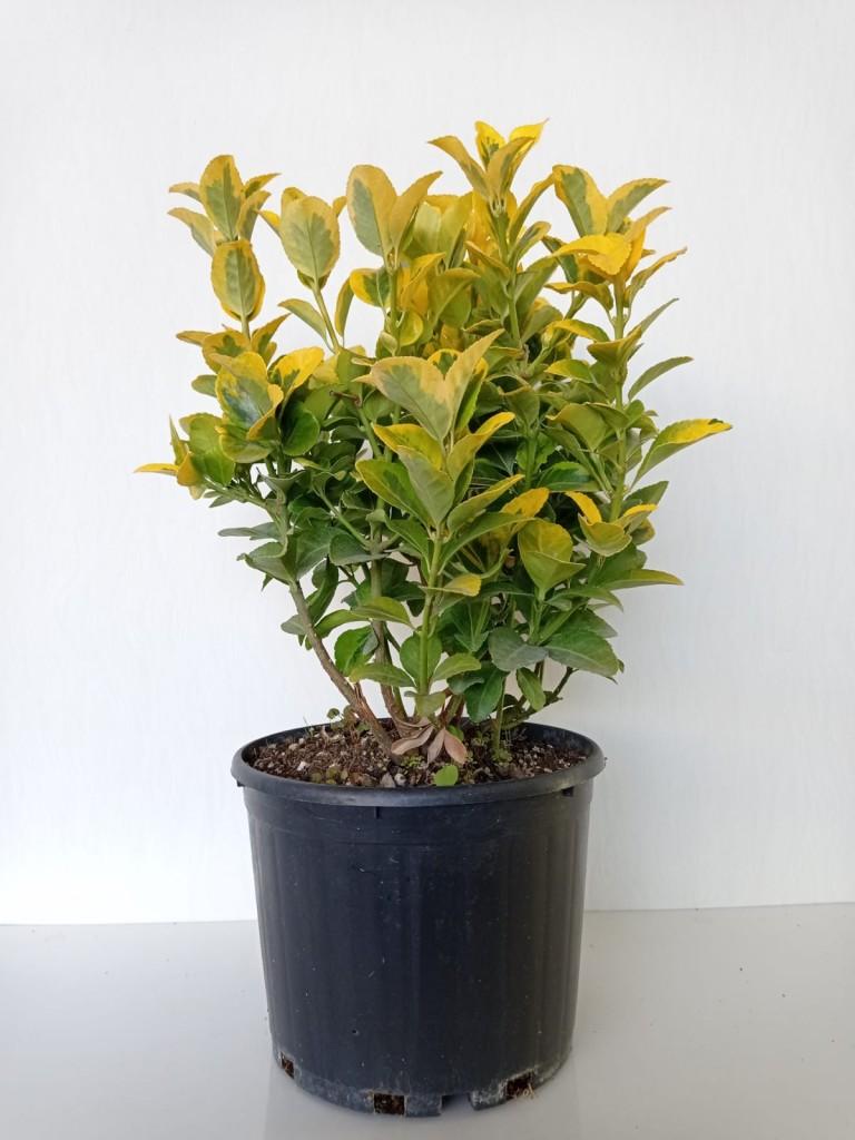 Euonymus Japonica Aurea (Altuni Taflan)
