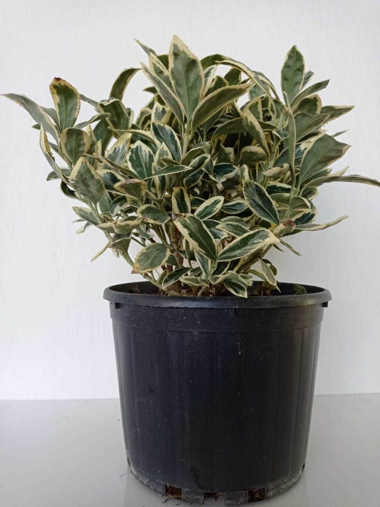 Euonymus Japonica Bravo