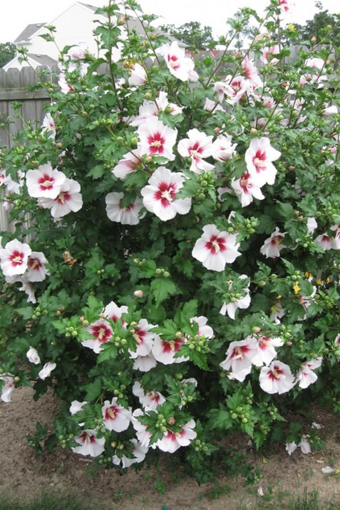 Hatmi Ağacı (Hibiscus Syriacus)