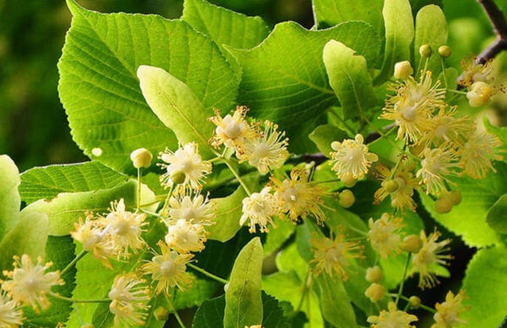 Ihlamur Ağacı (Tilia Cordata)