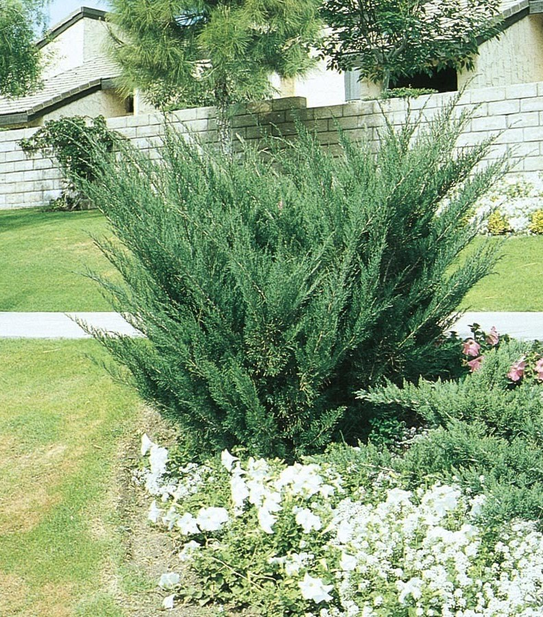 Juniperus Chinensis (Yeşil Ardıç)