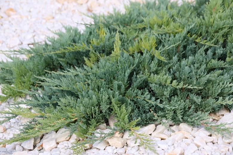 Juniperus Horizontalis Blue Chip (Mavi Sürünücü Ardıç)