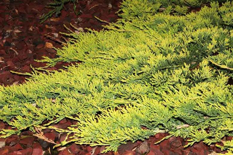 Juniperus Horizontalis Golden Carpet (Sarı Sürünücü Ardıç)