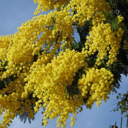 Mimoza (Fabaceaer)