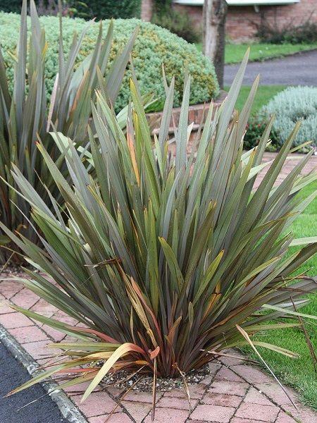 Phormium Tenax (Yeni Zelanda Keteni)