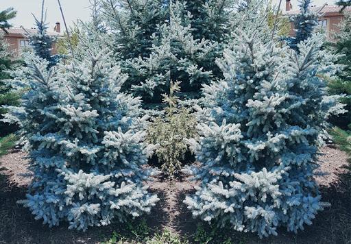 Picea Pungens Glauca (Tijli Mavi Ladin)