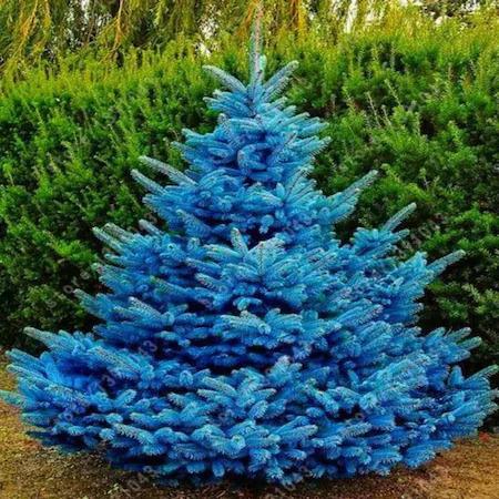 Picea Pungens (Mavi Ladin)