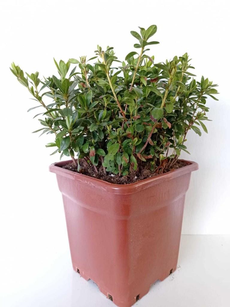 Rhododendron İndicum