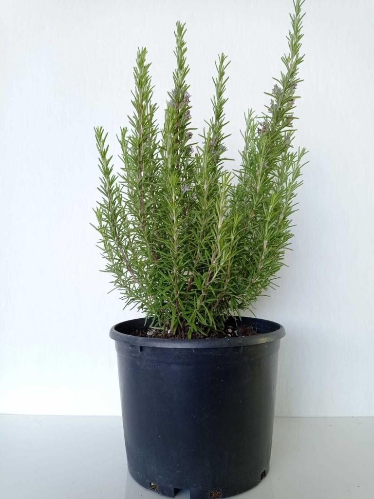 Salvia Rosmarinus (Biberiye)