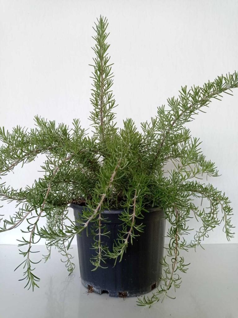 Salvia-Rosmarinus (Yayılıcı-Biberiye)