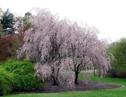 Ters Süs Kirazı (Prunus Subhirtella 'Pendula')