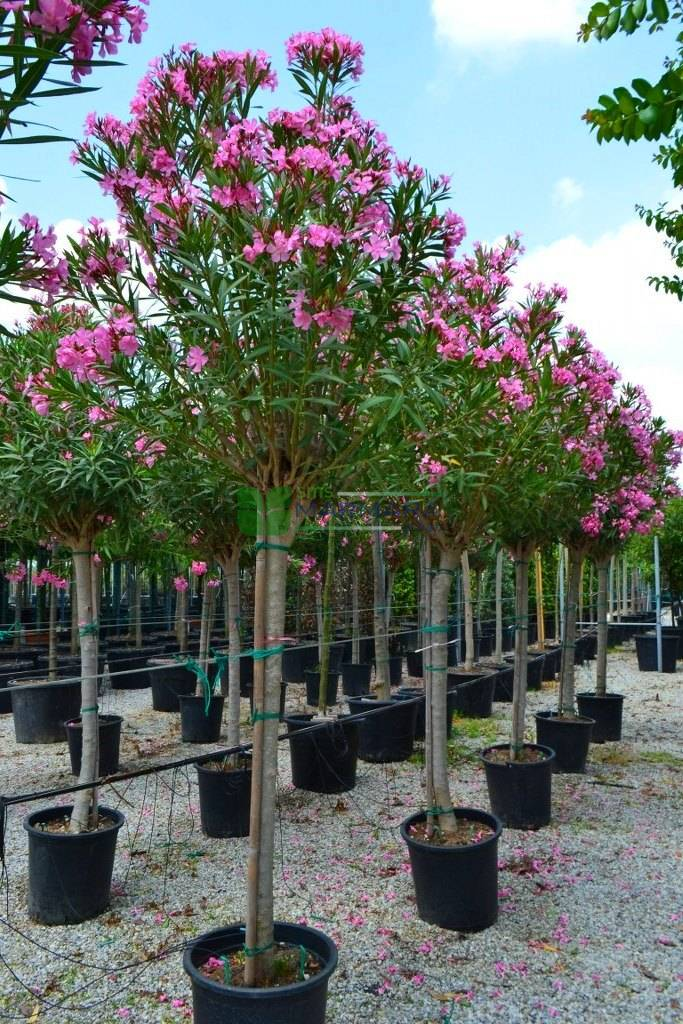 Tijli Zakkum Ağacı (Nerium Oleander)