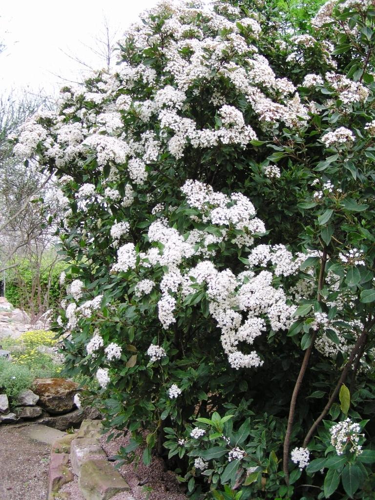 Viburnum opulus (Kış Kartopu)